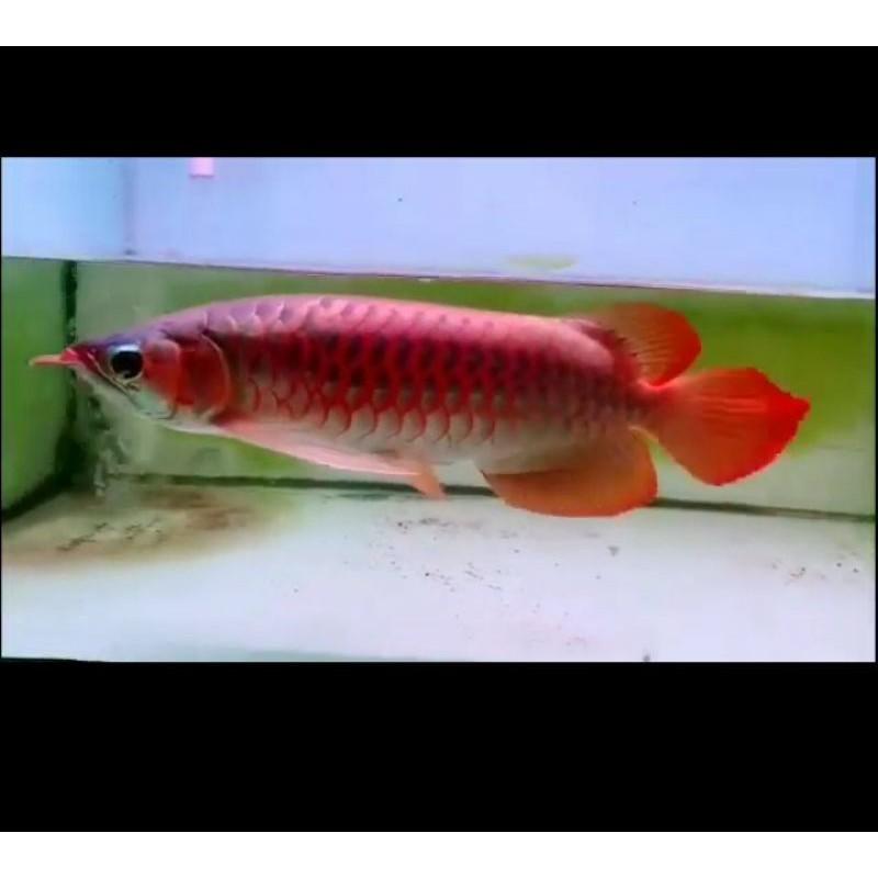 Ikan arwana super red  40cm