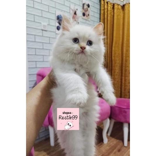 anak kucing kitten Himalaya / ragdoll / Norwegia / persia / anggora / peaknose / flat nose