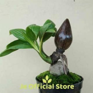 Bibit Bahan Bonsai Kelapa Minion Shopee Indonesia