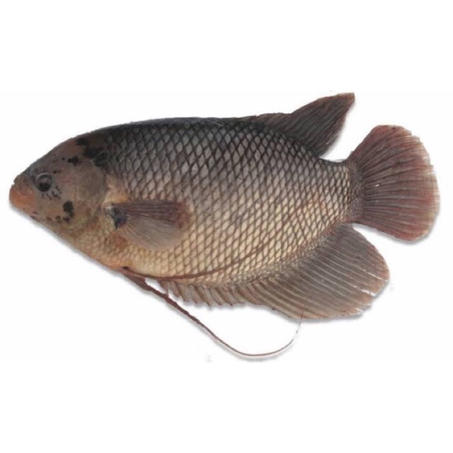 Seafood Ikan Gurame Kemasan 1 Kg Shopee Indonesia