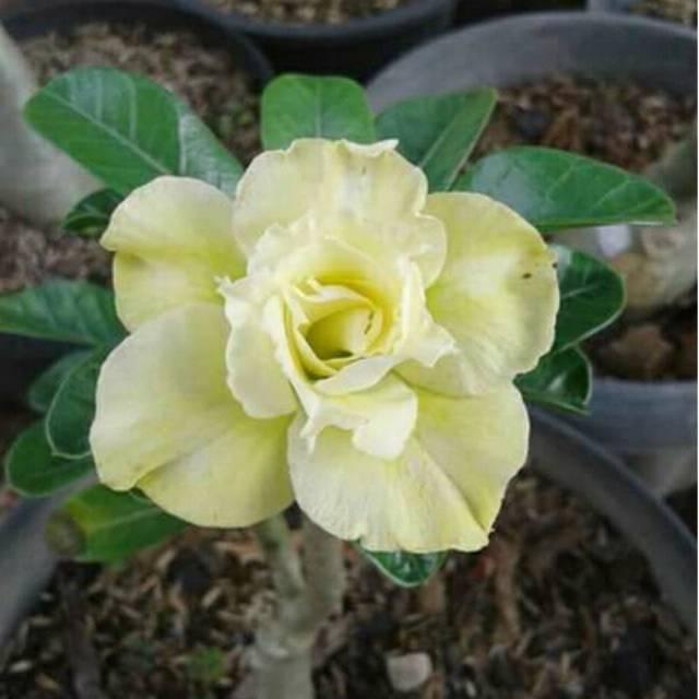 Bibit Bunga Kamboja Jepang Kuning Shopee Indonesia
