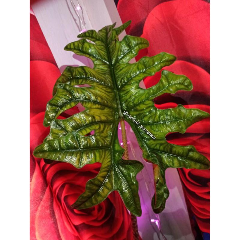 alocasia jacklyn (alocasia sp sulawesi)