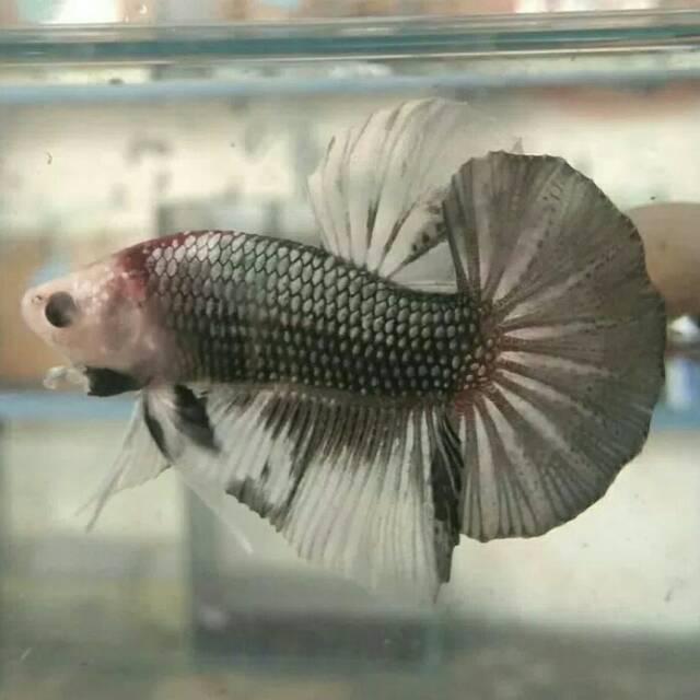 Ikan Cupang Giant 5 Cm Cooper Shopee Indonesia