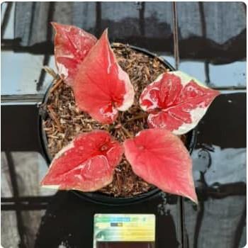 NEW PRODUK bibit bunga✅ tanaman hias caladium dwi warna/keladi dwi warna