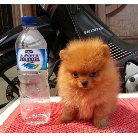 Anjing Mini Pom Sangat Bermutu Shopee Indonesia