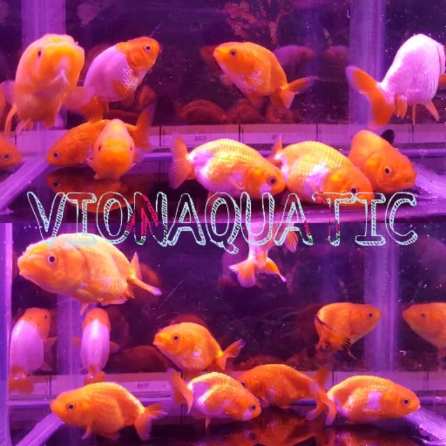 Ikan Hias Mas Koki Jenis Ranchu Lionhead Singa Unik Dan Lucu Hiasan Aquarium Aquascape Kolam Ikan Shopee Indonesia