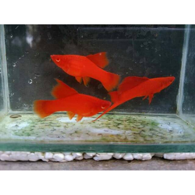 Blood Red Hifin Swordtail Shopee Indonesia