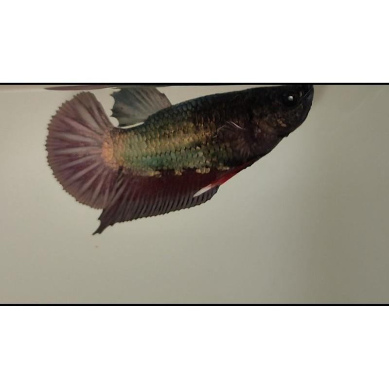 ikan cupang Avatar Cooper Gold top grade