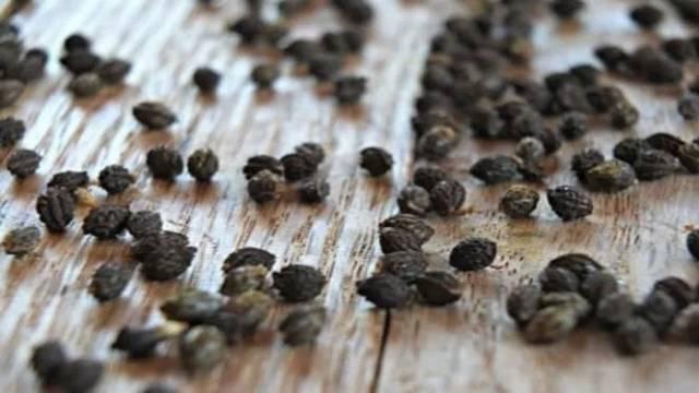 Biji Pepaya Kering Rempah Herbal Natural Obat Alami Shopee Indonesia