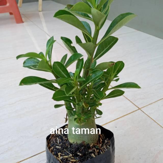 BONSAI ADENIUM OBESUM-bibit tanaman bonsai adenium obesum