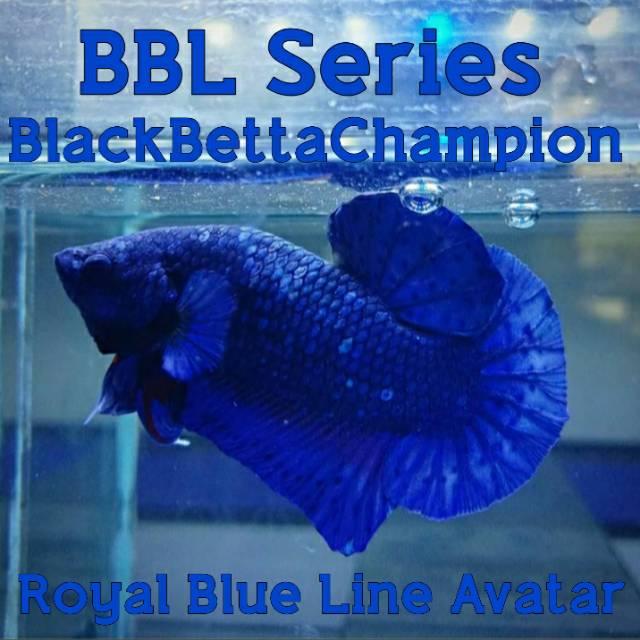 Ikan Cupang Plakat Blue Black Series Royal Blue Line Avatar Gordon Shopee Indonesia