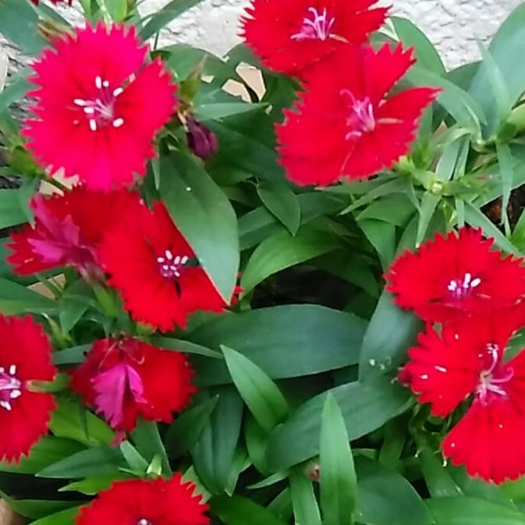 Tanaman Hias Tahan Panas Anyelir Bunga Merah Dianthus Rockin Red Shopee Indonesia