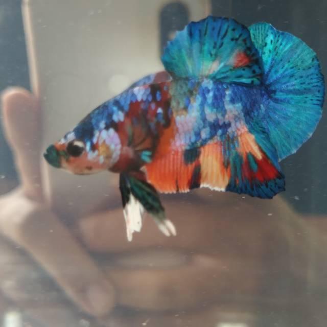 Ikan Cupang Nemo Multicolor Galaxy Shopee Indonesia