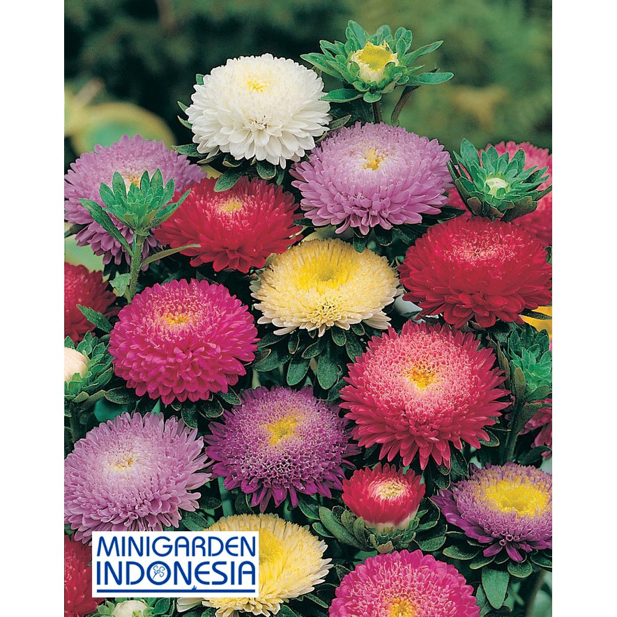 10 Benih Bunga Aster Pompon Mixed Mr Fothergills Bibit Tanaman