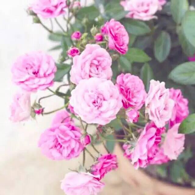 Tanaman Hias Bunga Mawar Baby Rose Atau Mawar Mini Shopee Indonesia
