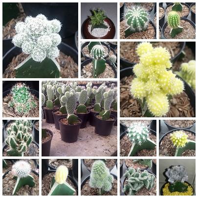 Kaktus Cactus Mix