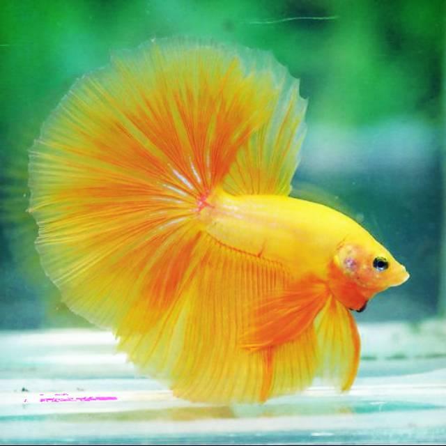 Gambar Ikan Cupang Halfmoon - Gambar Ikan HD