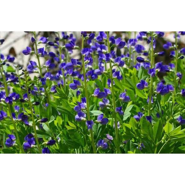 Amefurashi Benih / Bibit / Seed Blue Flower Indigo False Bunga Biru Indah Stunning Flower |