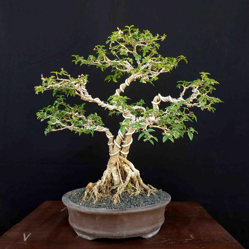 Bonsai Tanaman Kerdil Pohon Sakura Mikro Elegan Shopee Indonesia