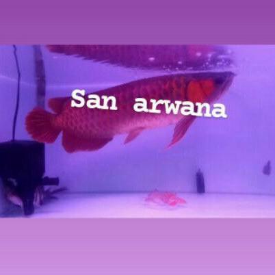 ikan arwana super red arwana sr