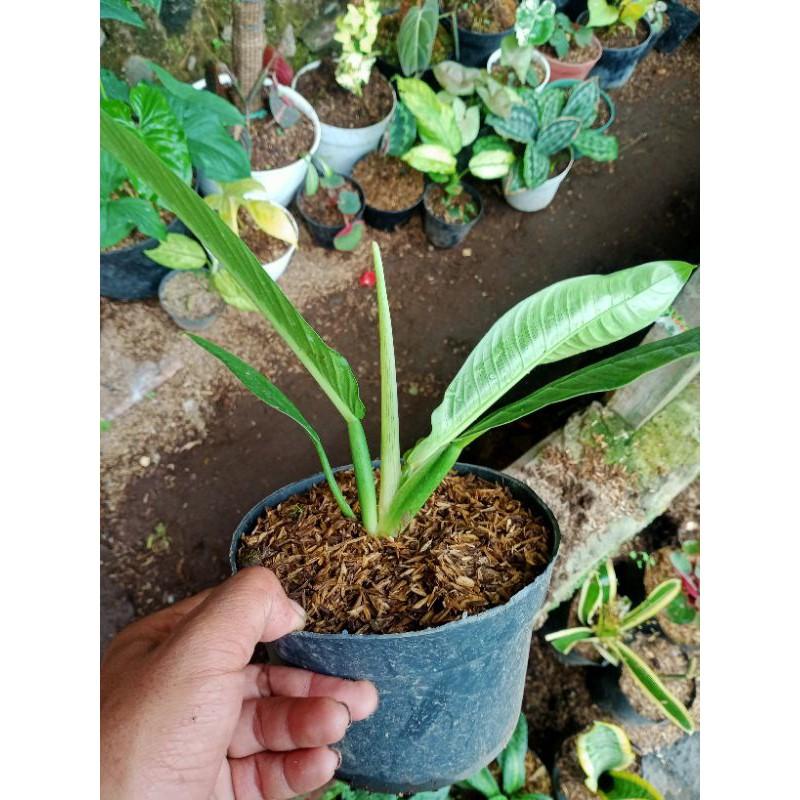 tanaman Philo linet