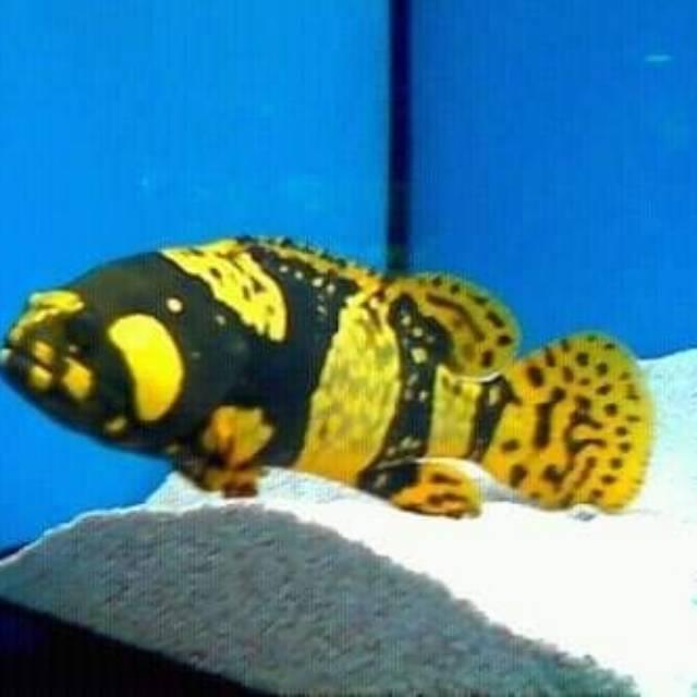 Ikan Hias Kerapu Emas Bumblebee Grouper Shopee Indonesia
