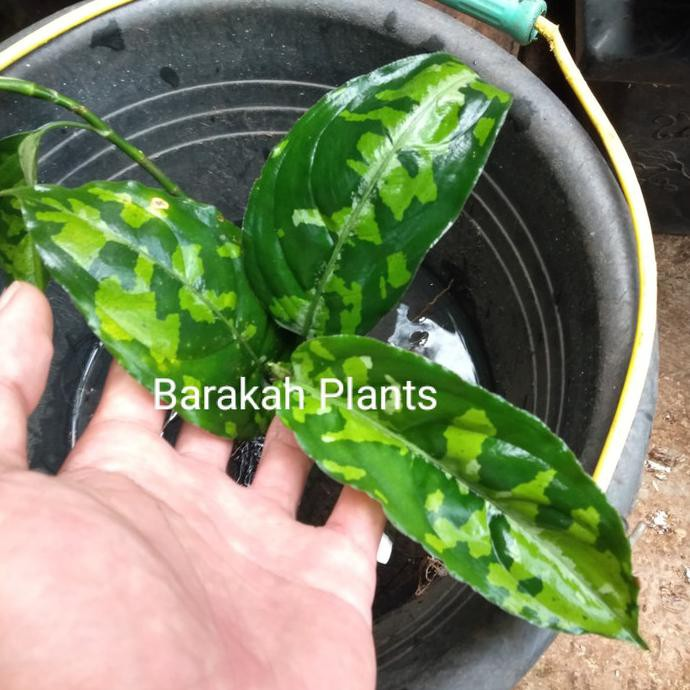 Aglaonema Pictum Tricolor | Aglonema Pictum Thri Colour