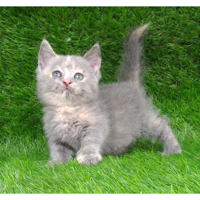 Kucing Cebol Munchkin Shopee Indonesia