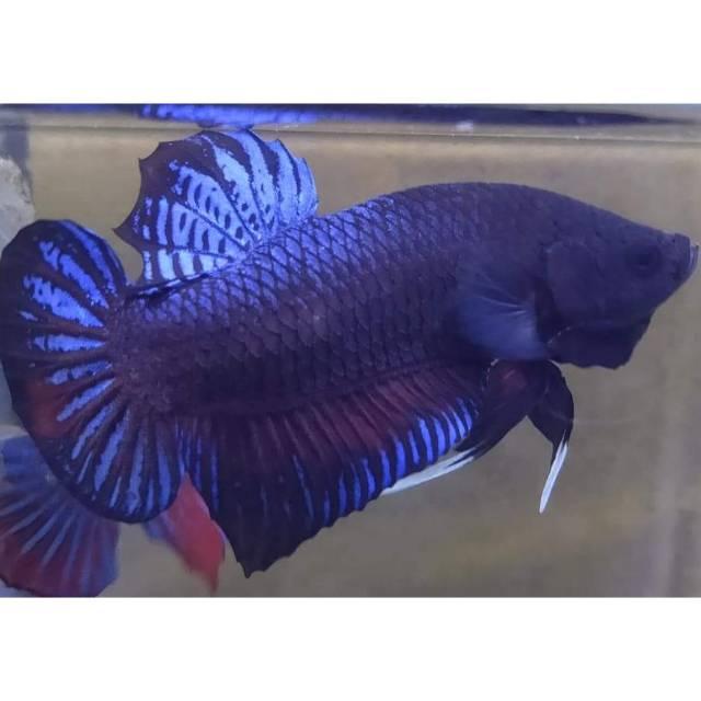 Ikan Cupang Import
