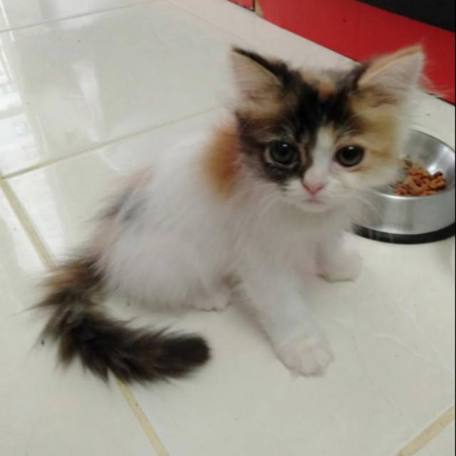 Kucing Persia Umur 3bulan Cewe Shopee Indonesia