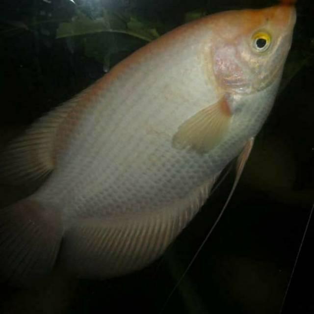 Ikan Hias Gurame Padang Aquarium Aquascape Shopee Indonesia