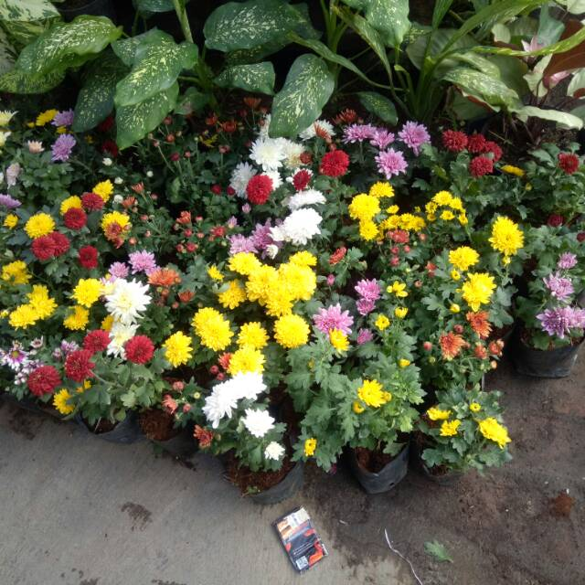 Tanaman Bunga Krisan Dalam Pot Shopee Indonesia