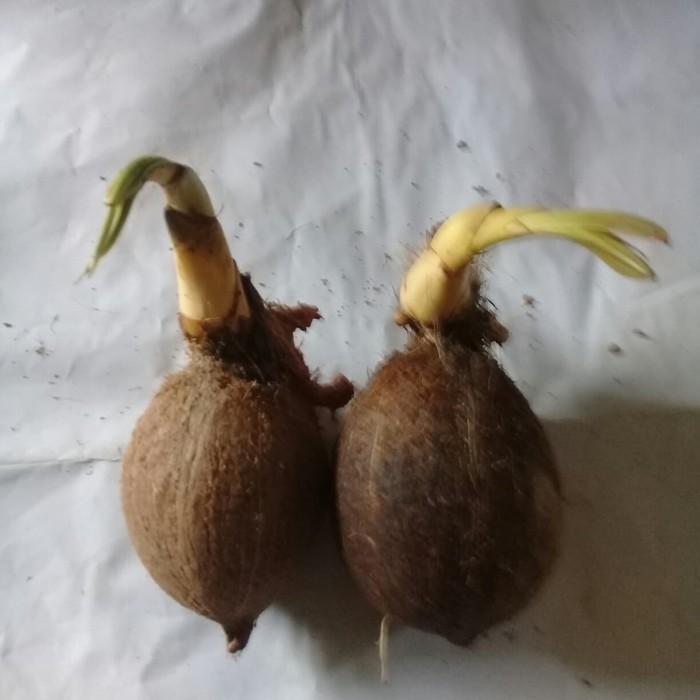Unik KELAPA BONSAI Bahan bonsai Diskon