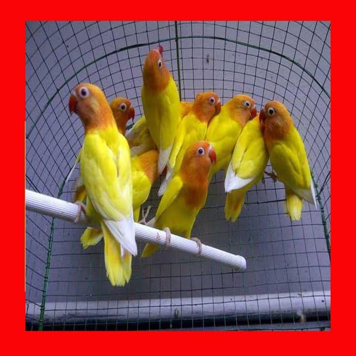 Burung Lovebird Love Bird Lutino Mata Merah Betina Jantan Bunyi Ngekek Jual Lovebirds Birds Lb Ino Shopee Indonesia