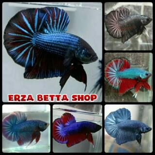 Paket 4 Ekor Ikan Cupang Halfmoon Rosetaile Shopee Indonesia