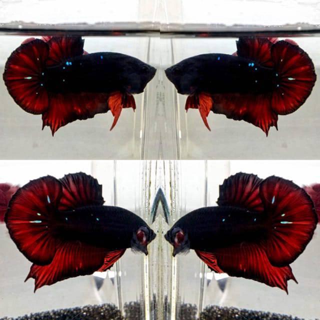 Ikan Cupang Sepair Avatar Black Vampire Shopee Indonesia