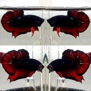 Ikan cupang Sepair Avatar Black Vampire | Shopee Indonesia