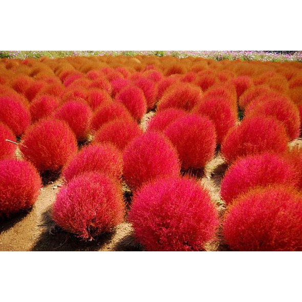 Lotus seed benih bunga teratai flower biji tanaman air aquascape taman   Shopee Indonesia
