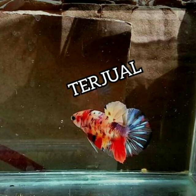 Ikan Cupang Hias Plakat Nemo Galaxy Grade A Shopee Indonesia