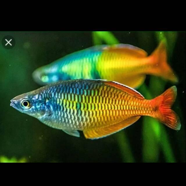 Rainbow Boesemani Bosemani Shopee Indonesia