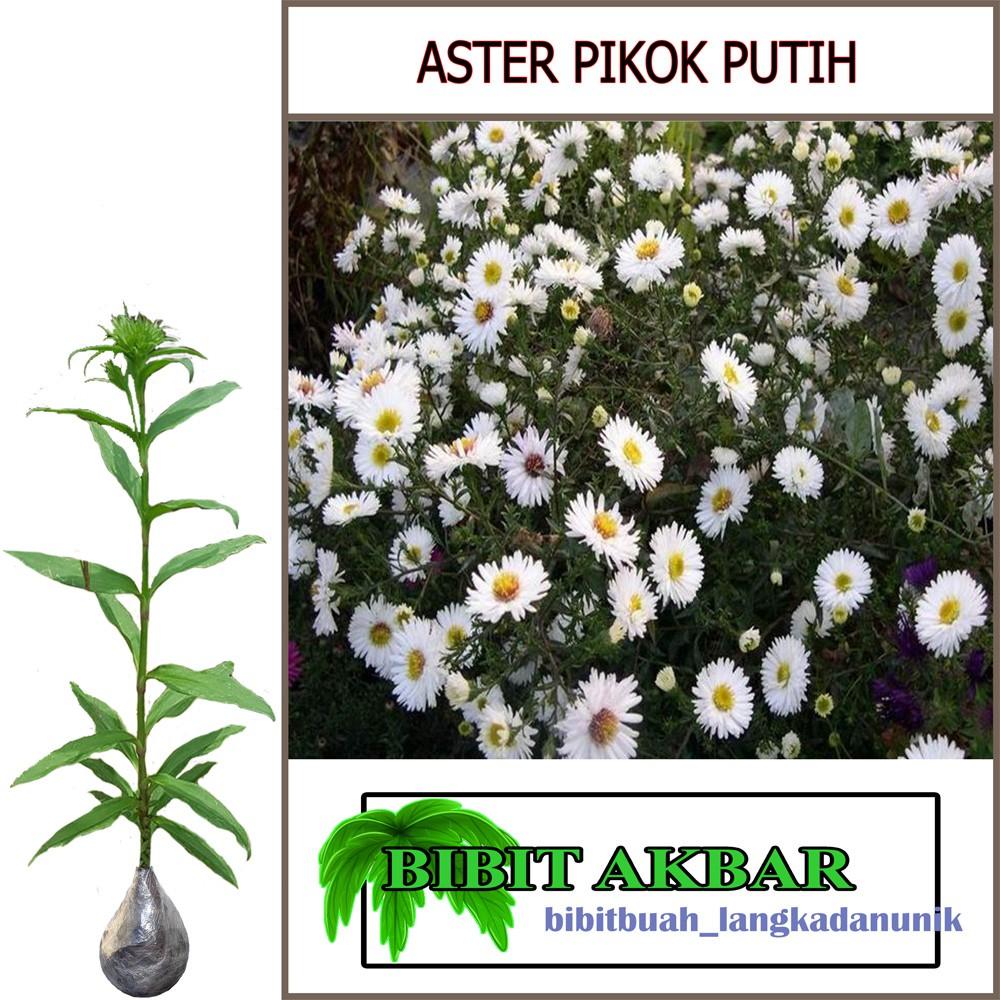 Bibit Tanaman Hias Bunga Aster Pikok Putih Shopee Indonesia