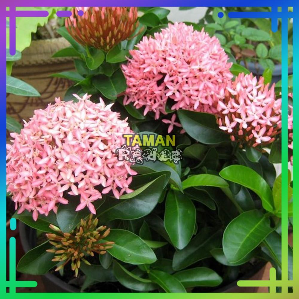 Tanaman Hias Asoka Jambon Dewasa Soka Jambon Bunga Pink Shopee Indonesia