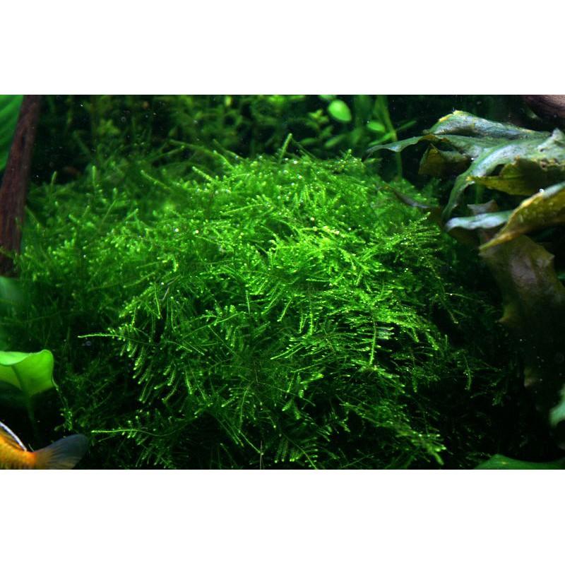 Tanaman Moss Aquascape Taiwan Shopee Indonesia