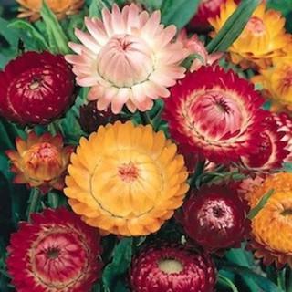 5 benih bunga helychrysum strawflower mixed F1 bibit tanaman import UK