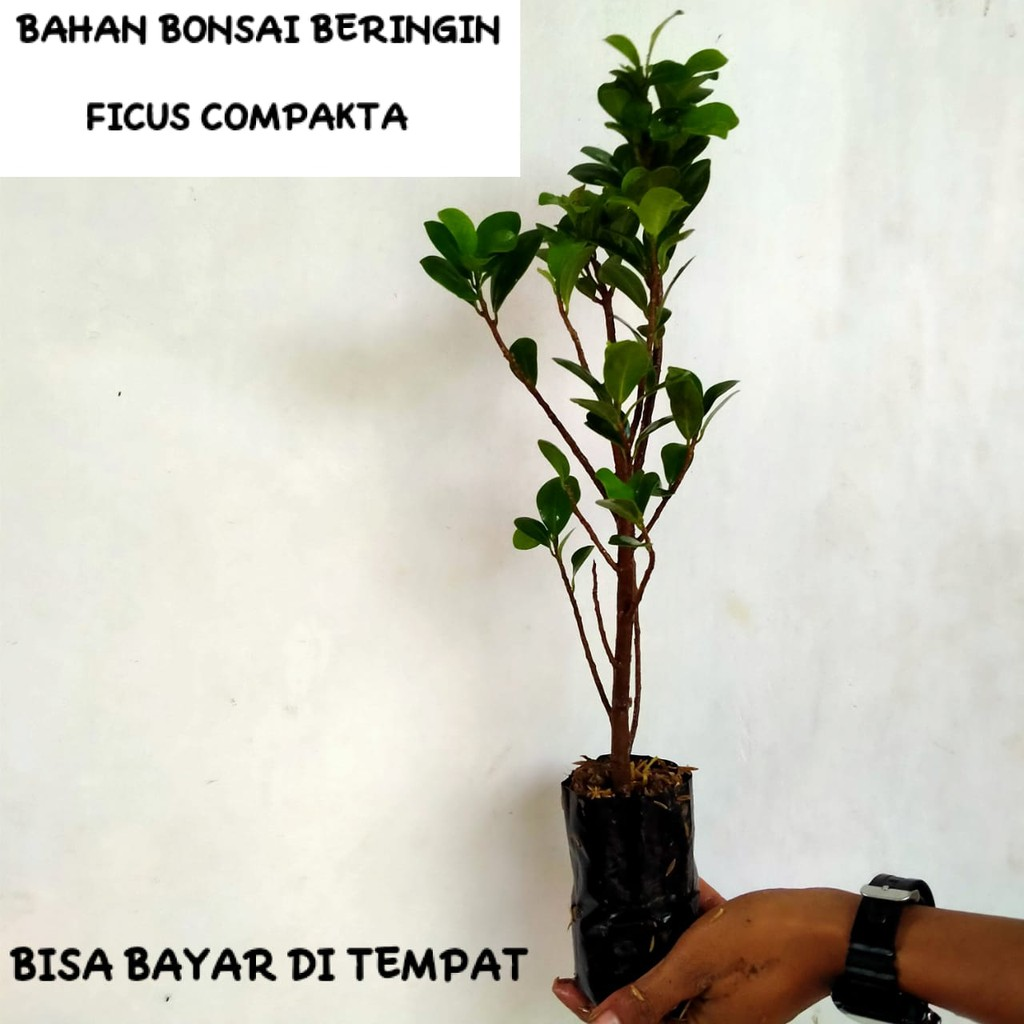 BAHAN BONSAI BERINGIN FICUS KOMPAKTA|bahan bonsai|tanaman hia