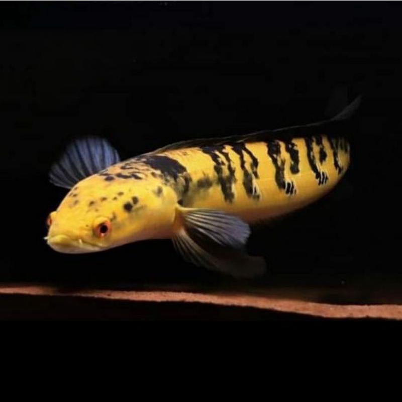 Channa Maru Yellow Sentarum YS 19-20 cm   Ikan Hias Predator Gabus Chana