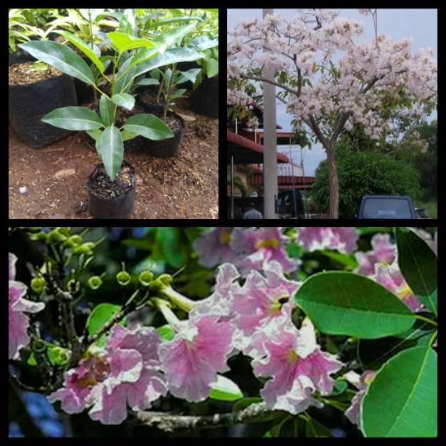 Bibit Pohon Tabebuya Pink Tanaman Tabebuya Bunga Pink Shopee Indonesia