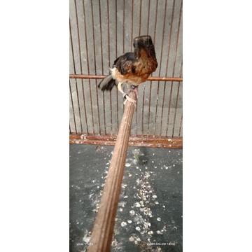 burung murai batu ring APBN
