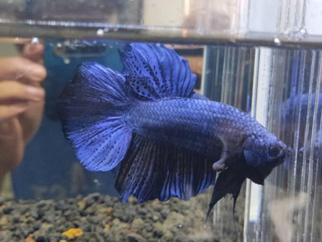 Ikan Cupang Giant Blue 6 5 Cm Shopee Indonesia