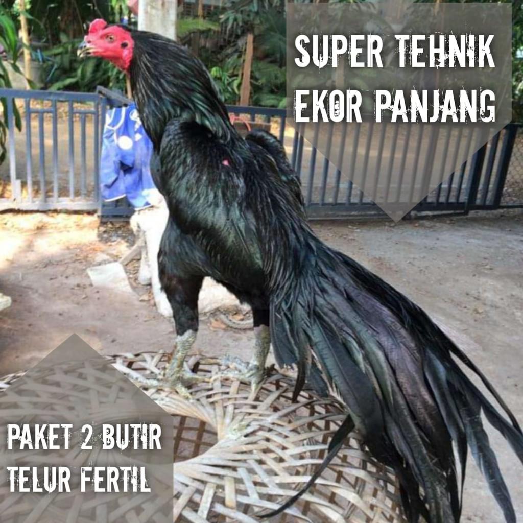 Ayam Bangkok telur fertil paket 2 butir asli pakhoy super aduan ekor lidi thailand f1